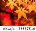 鮮やかな紅葉 33667510