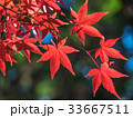 鮮やかな紅葉 33667511