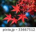 イロハモミジ 楓 紅葉の写真 33667512