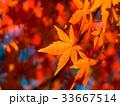 イロハモミジ 楓 紅葉の写真 33667514