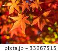 鮮やかな紅葉 33667515