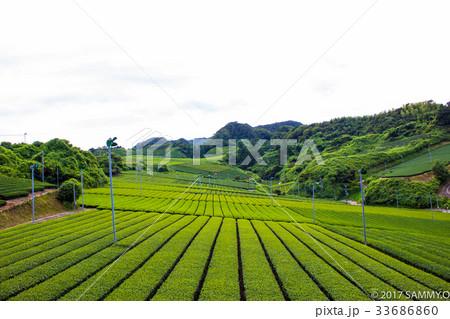 縦模様の茶畑と空 静岡 33686860