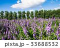 ラベンダー ラベンダー畑 北海道の写真 33688532