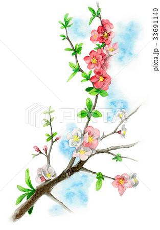 木瓜の枝に咲く花のイラスト素材 [33691149] - PIXTA