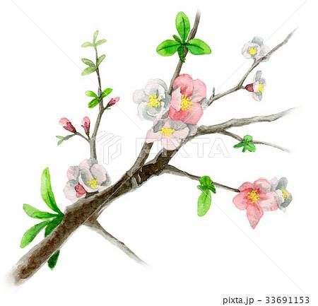木瓜の枝に咲く花のイラスト素材 [33691153] - PIXTA
