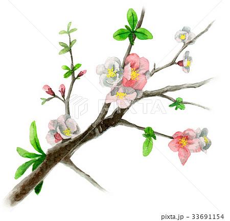 木瓜の枝に咲く花のイラスト素材 [33691154] - PIXTA