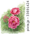 牡丹 花 植物のイラスト 33691424