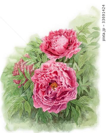 ピンクの大輪の牡丹の花 33691424