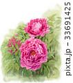牡丹 花 植物のイラスト 33691425