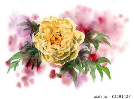 黄色の牡丹の花 33691427