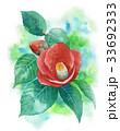 椿 花 植物のイラスト 33692333