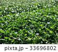 茶畑 33696802