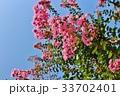 百日紅 サルスベリ 植物の写真 33702401