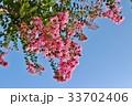 百日紅 サルスベリ 植物の写真 33702406