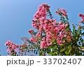 百日紅 サルスベリ 植物の写真 33702407