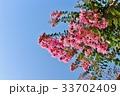 百日紅 サルスベリ 植物の写真 33702409