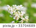 そばの花 33704689