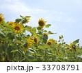ひまわり畑 33708791