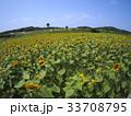 ひまわり畑 33708795
