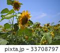 ひまわり畑 33708797