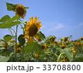 ひまわり畑 33708800