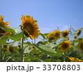 ひまわり畑 33708803