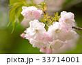 花 春 桜の写真 33714001