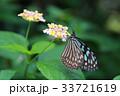 リュウキュウアサギマダラ 33721619