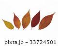 紅葉した葉 33724501