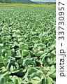 畑 キャベツ キャベツ畑の写真 33730957