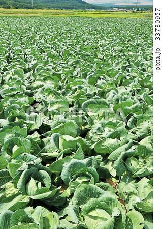 一面のキャベツ畑 33730957