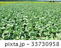 一面のキャベツ畑 33730958
