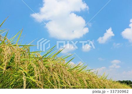 秋の青空 豊作の稲たち 33730962