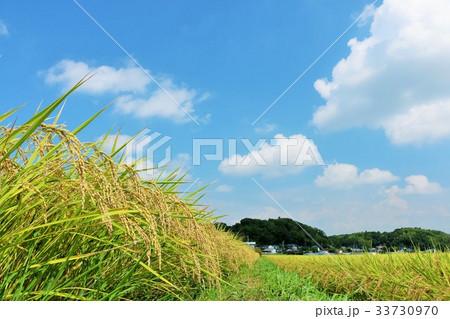 秋晴れの青空 田んぼの稲 33730970