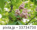 桃色 樹木 樹の写真 33734730