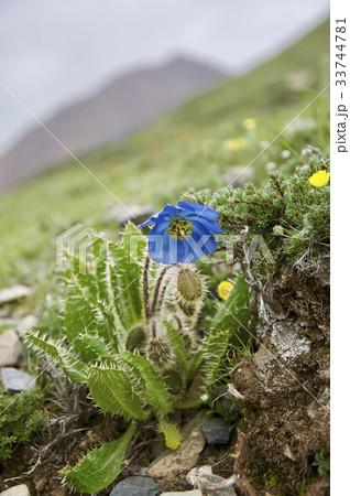 マチェンカンリの裾野に咲く青いケシ 33744781