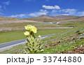 中国青海省の峠に咲く黄色いケシ 33744880