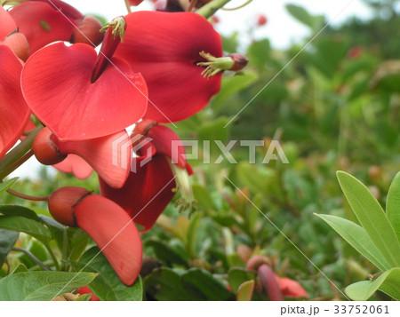 夏の花にぴったり。情熱の赤い花アメリカデイゴの花 33752061