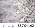 花 桜 春の写真 33764192