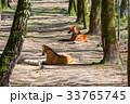 おおかみ オオカミ 狼の写真 33765745