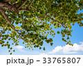 樹木 樹 ツリーの写真 33765807