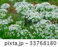 花 ニラ 白色の写真 33768180