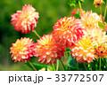 ダリア 品種(アップルマンゴー) 33772507
