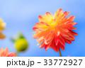 ダリア青空バック 品種(アップルマンゴー) 33772927
