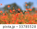 キバナコスモス コスモス アゲハチョウの写真 33785528