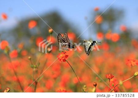 蝶々の戯れ 33785528