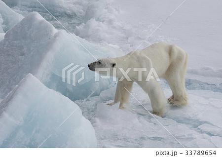 Polar bear walking on the ice. 33789654