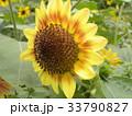 色々な花の咲くヒマワリモネパレットの黄色い花 33790827