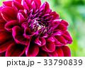 ダリア接写 品種(サマンサ) 33790839