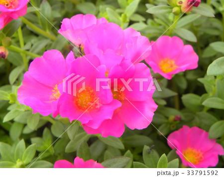 可愛い夏の桃色の花ポーチュラカ 33791592